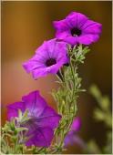 Фото красивых садовых сиреневых цветов