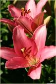 Фотографии цветов. Лилия розовая садовая