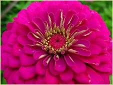 Фото цветов высокого разрешения. Садовые пионы
