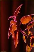 Гинура. Фото домашнего цветка в контрсвете