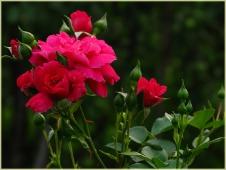 Фотографии розы. Розовые розы. Фото высокого разрешения