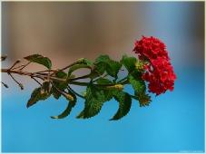 Красный цветок у бассейна