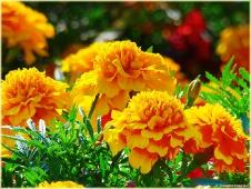 Фотография цветов на клумбе