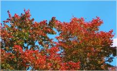 Красные кленовые листья. Красивые фотографии осенних листьев