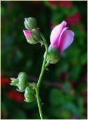 Бутон Мальвы садовой. Фото цветов высокого разрешения