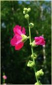 Садовая мальва. Бордовый цветок. Фото садовых цветов