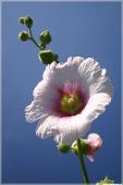Фотографии цветов. Розовая мальва на фоне синего неба