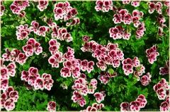 Декоративные красные цветы с белой каймой. Клумба с цветами