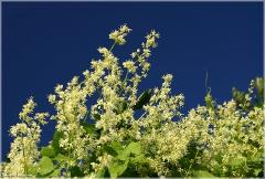 Бешеный огурец фото. Вьющиеся растения для сада фото. Живая изгородь