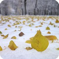 как фотографировать желтые листья на белом снегу