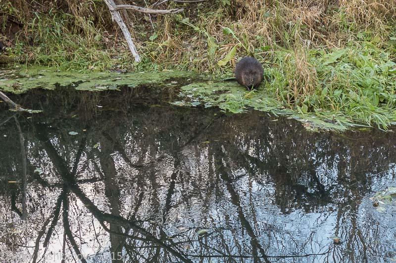 фото бобра на берегу реки