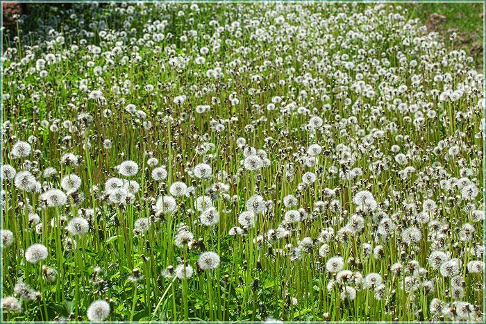 фотография поля белых одуванчиков
