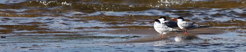 речные птицы на пляже города Горбатов