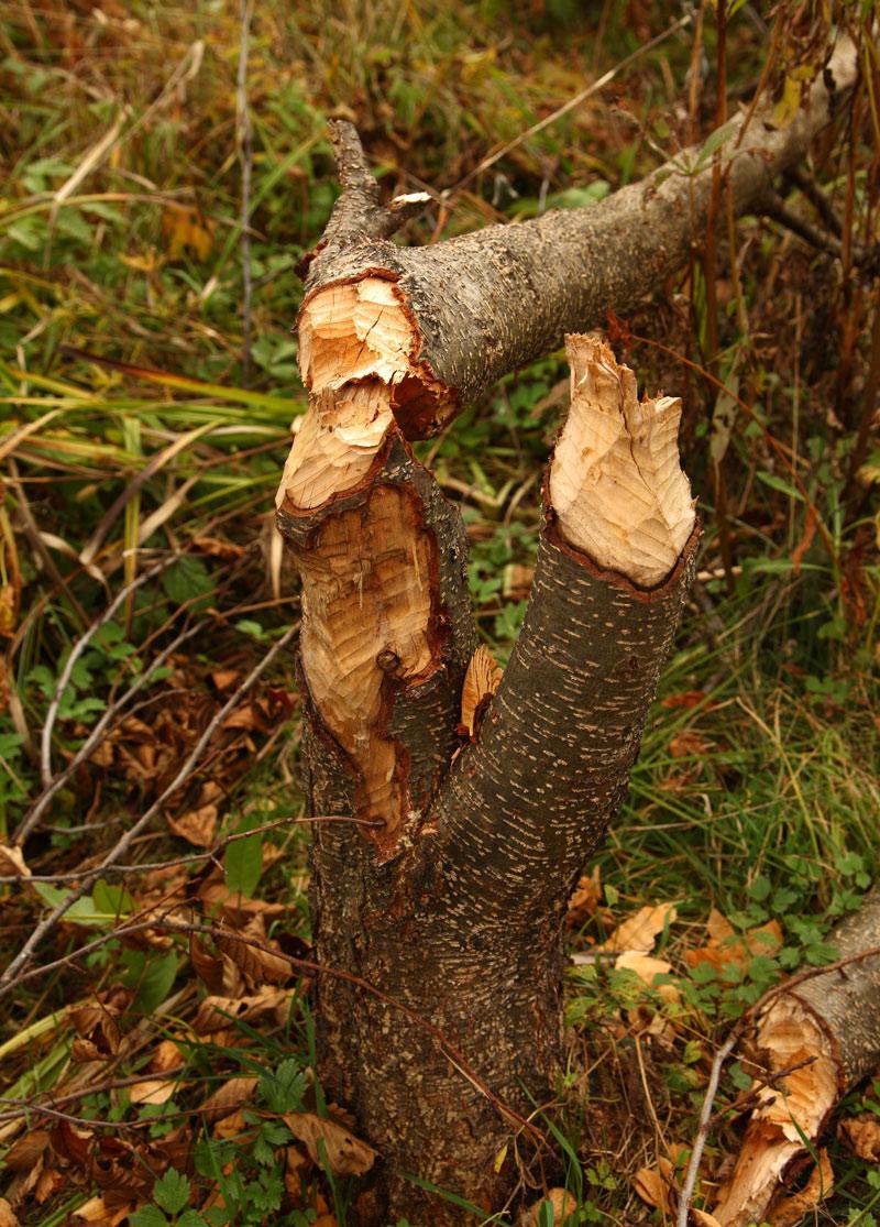 фото дерева, поваленного бобром