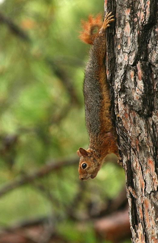фотографии рыжей белки на дереве