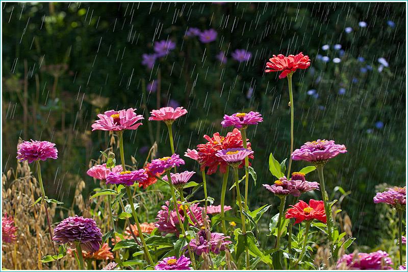 фотография цветов на клумбе под солнечным дождем