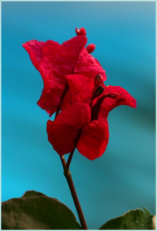 фотография красного цветка на синем фоне