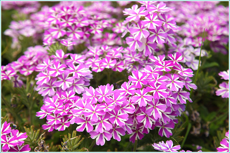 Фотография цветов на клумбе. Размытый фон