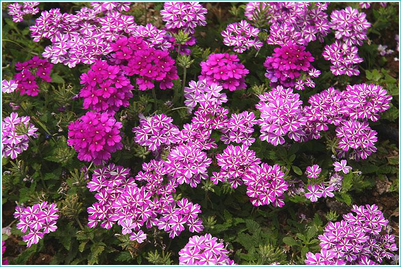 фотографии мелких сиреневых цветов на клумбе. вид сверху