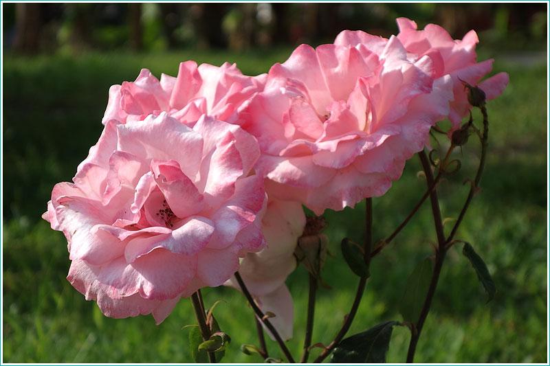 фотографии розовых роз на фоне зеленой травы