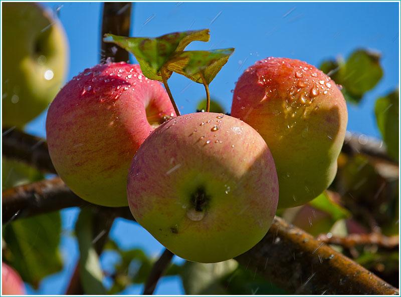 яблоки с каплями воды
